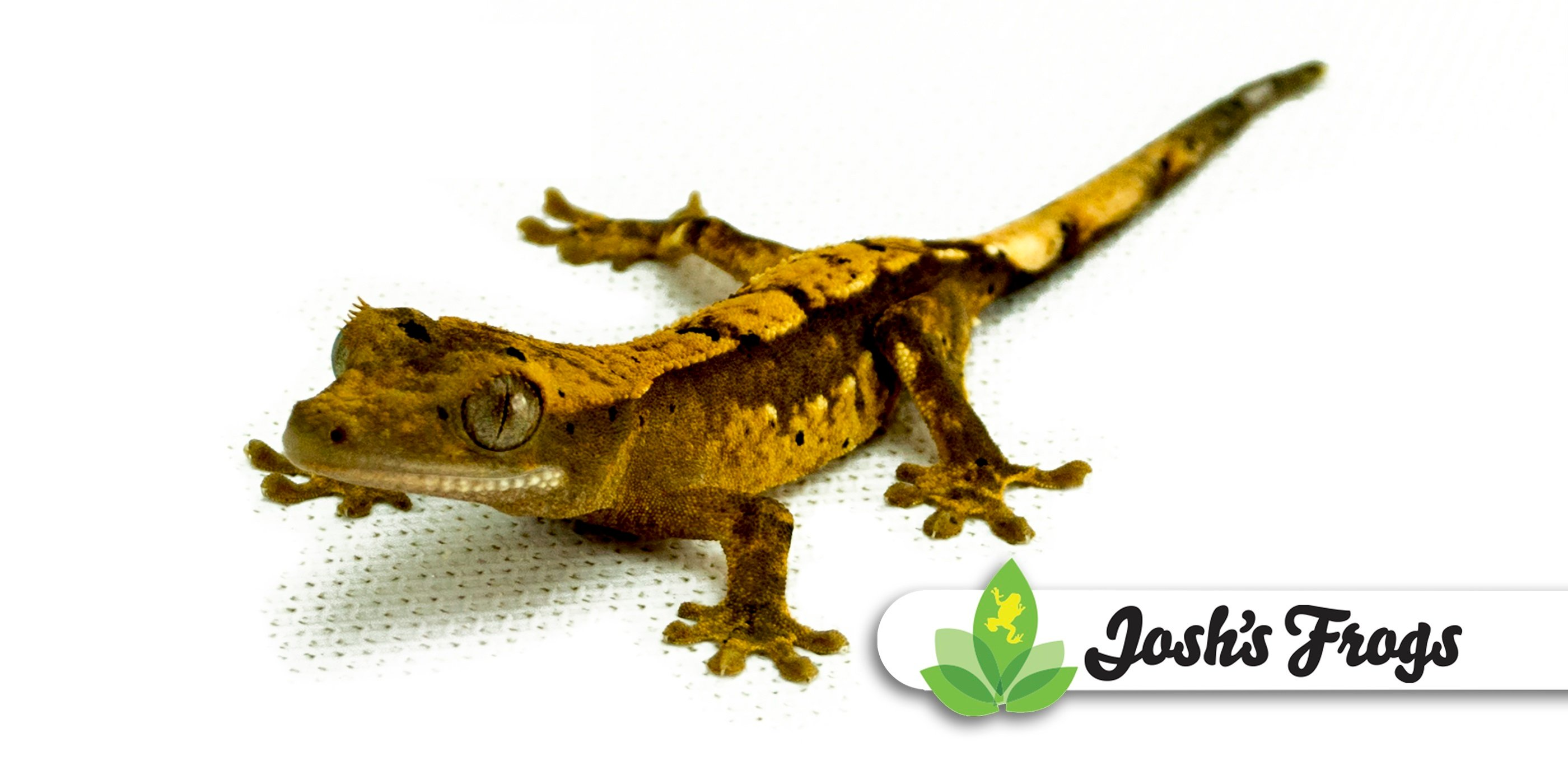 Caring For Crested Geckos Joshs Frogs How To Guides