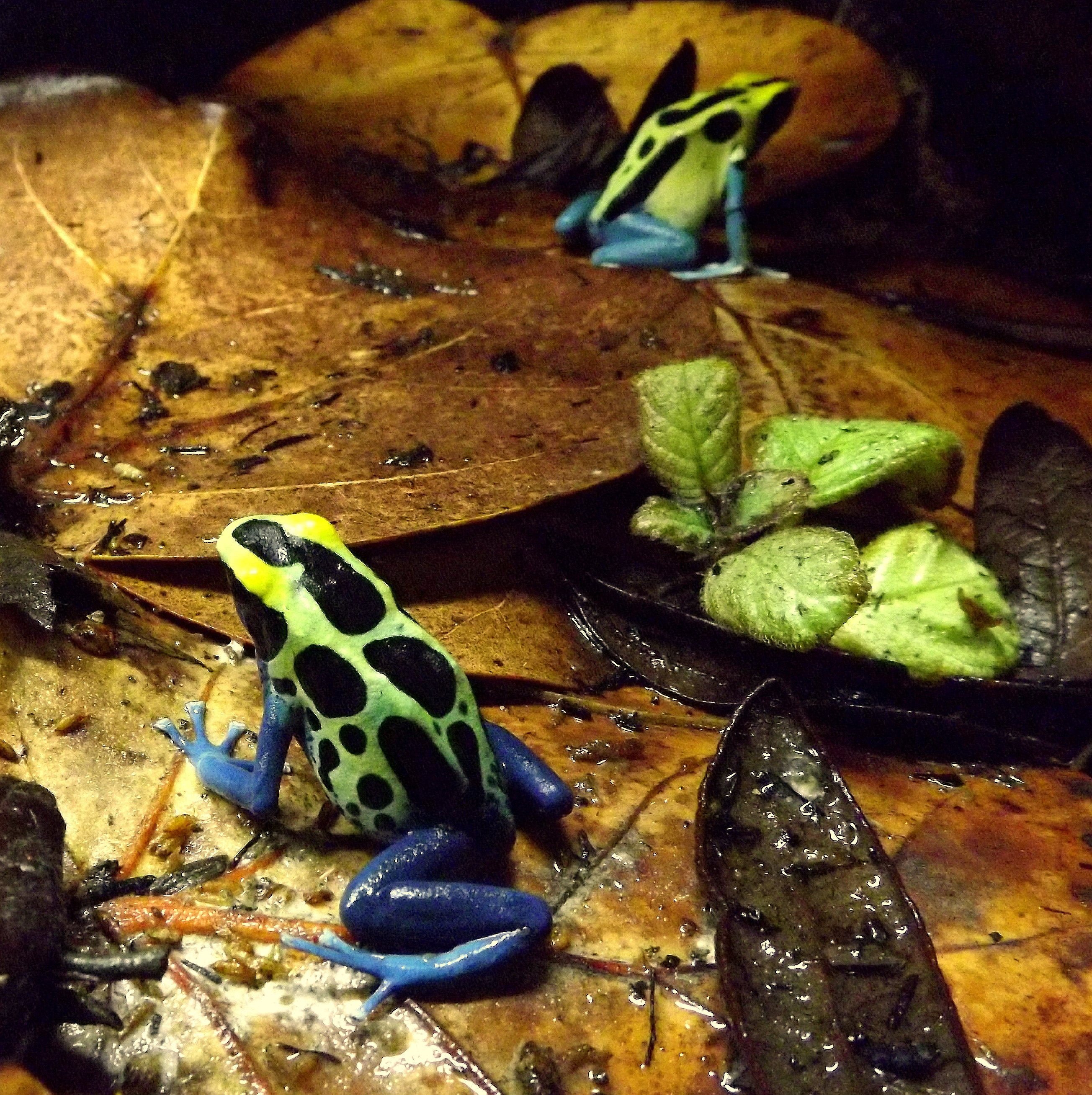 Poison Dart Frog Caresheet Josh S Frogs How To Guides