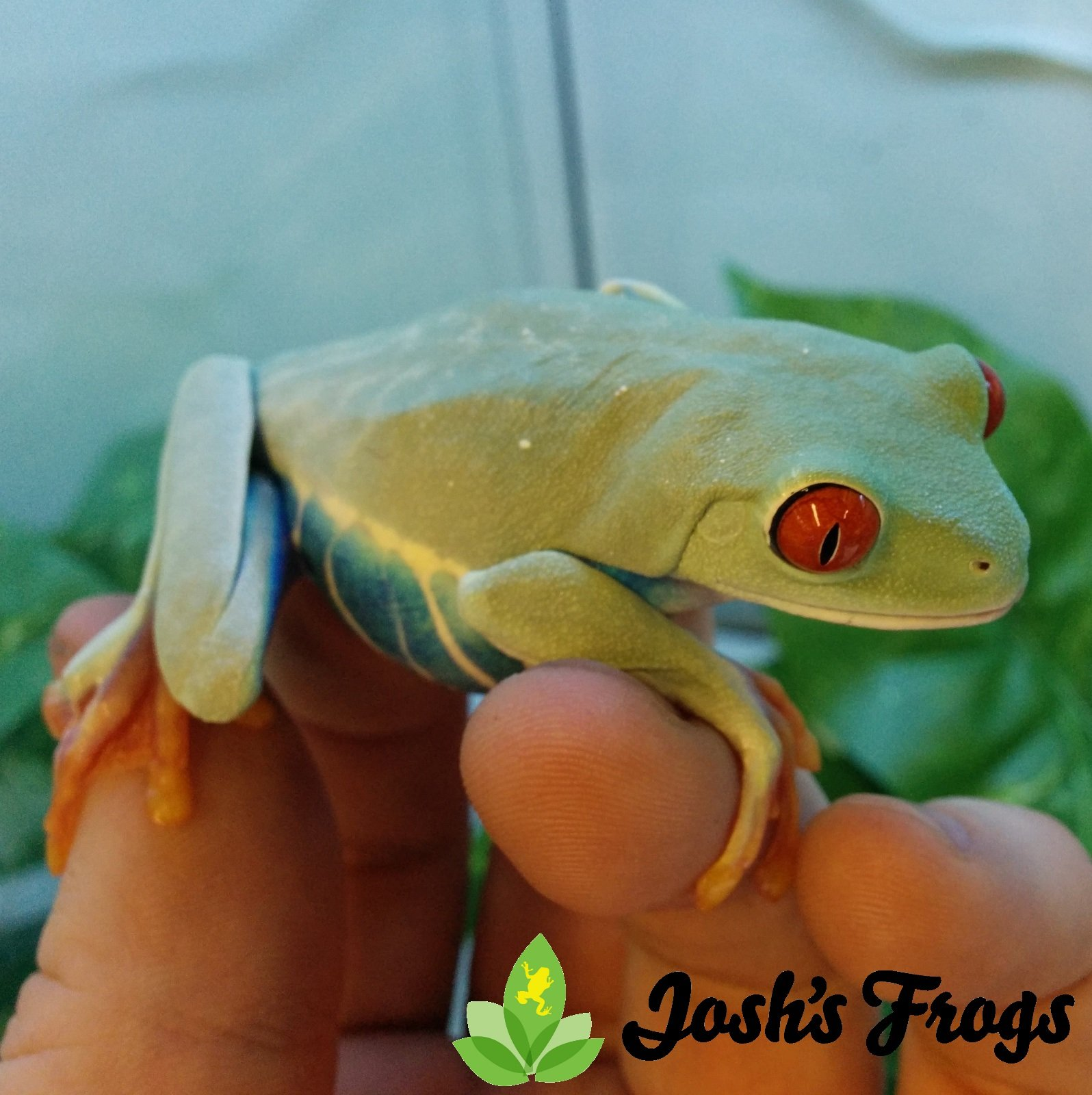 How to Care for the Red Eye Tree Frog - Agalychnis callidryas ...