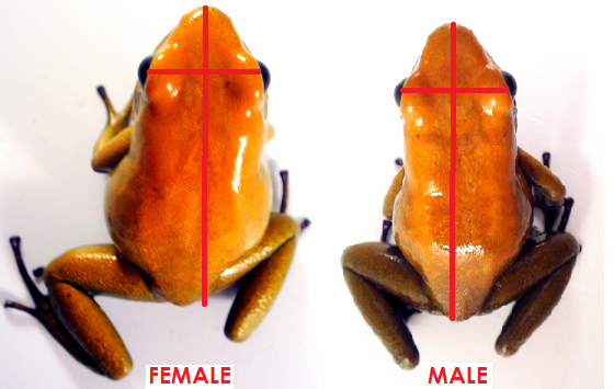 Girth: Sexually mature females will generally appear wider than males.
