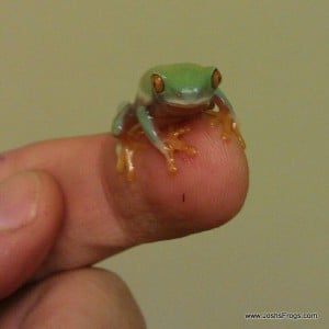 red eye tree frog out of water