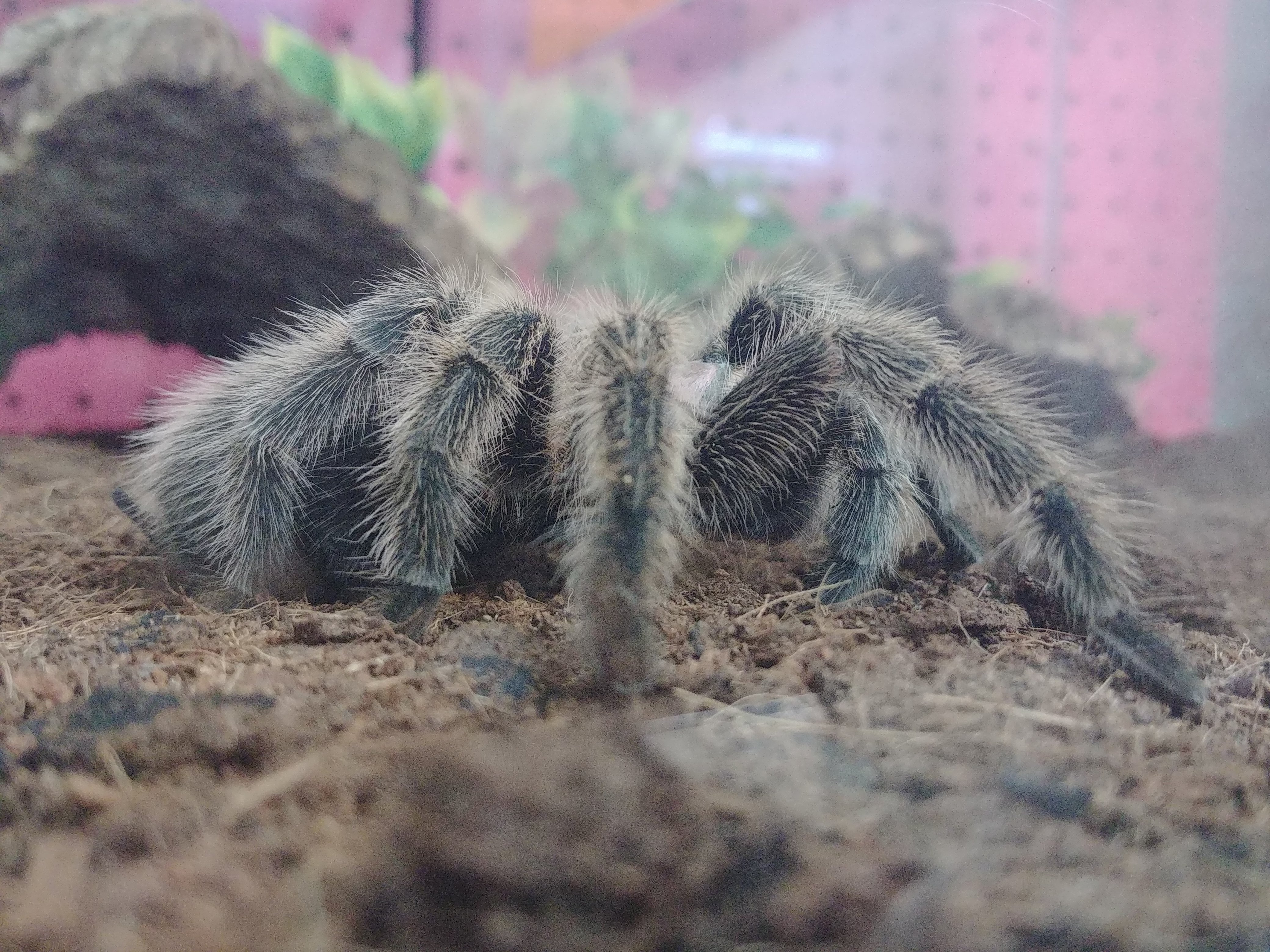 Chilean Rose Hair Tarantula Care Guide Josh S Frogs How To Guides