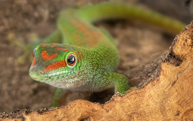 Giant Day Gecko Husbandry - Josh's Frogs How-To Guides