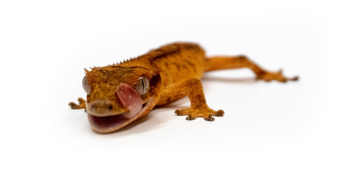 Crested Geckos A Great Beginner Lizard Josh S Frogs How To Guides