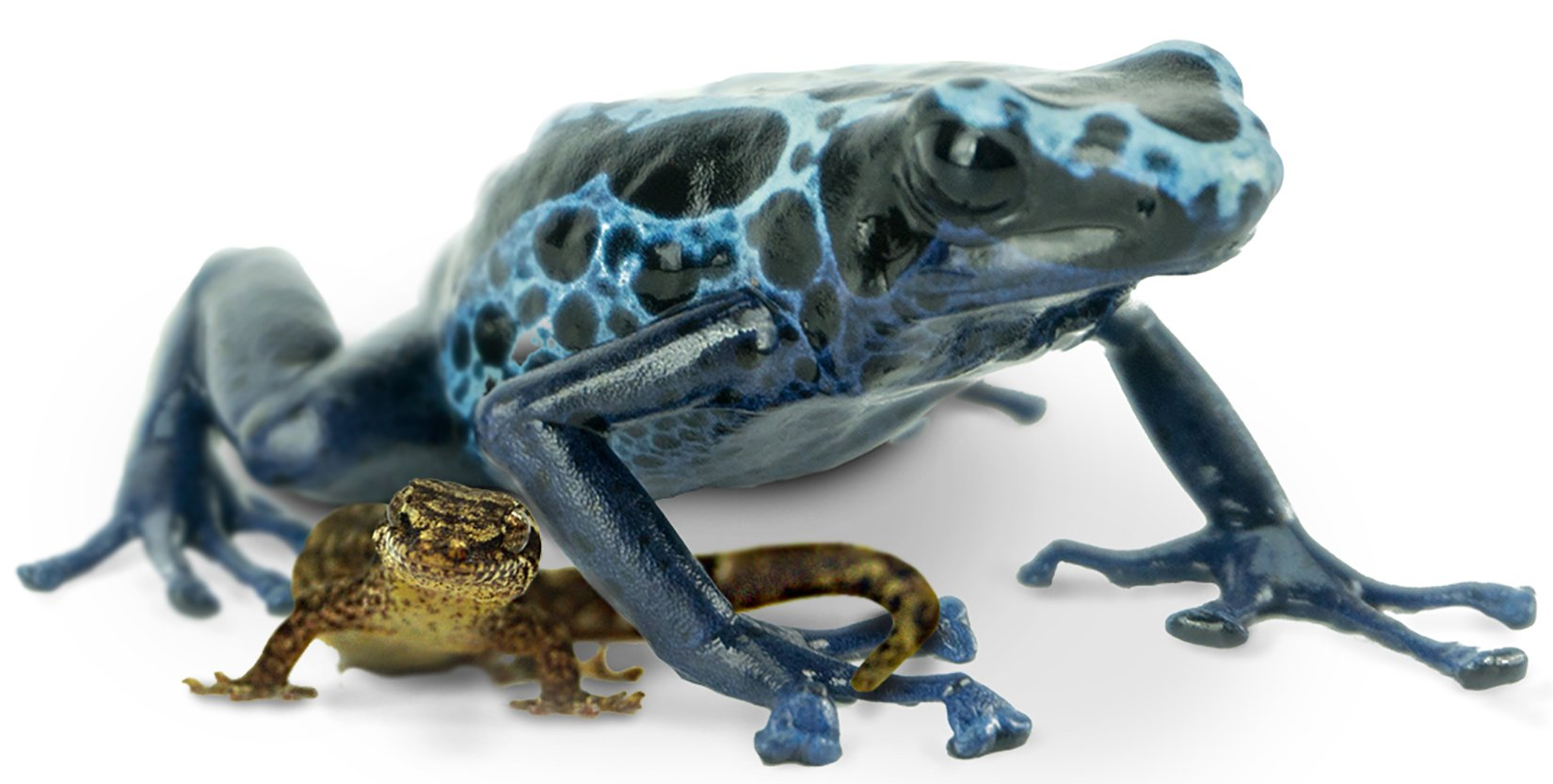 Keeping Mourning Geckos And Dart Frogs Together Josh S Frogs How