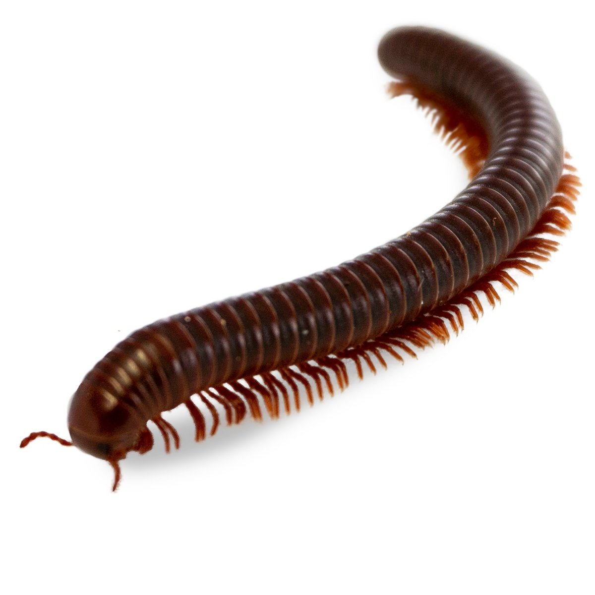 millipede care josh s frogs how to guides