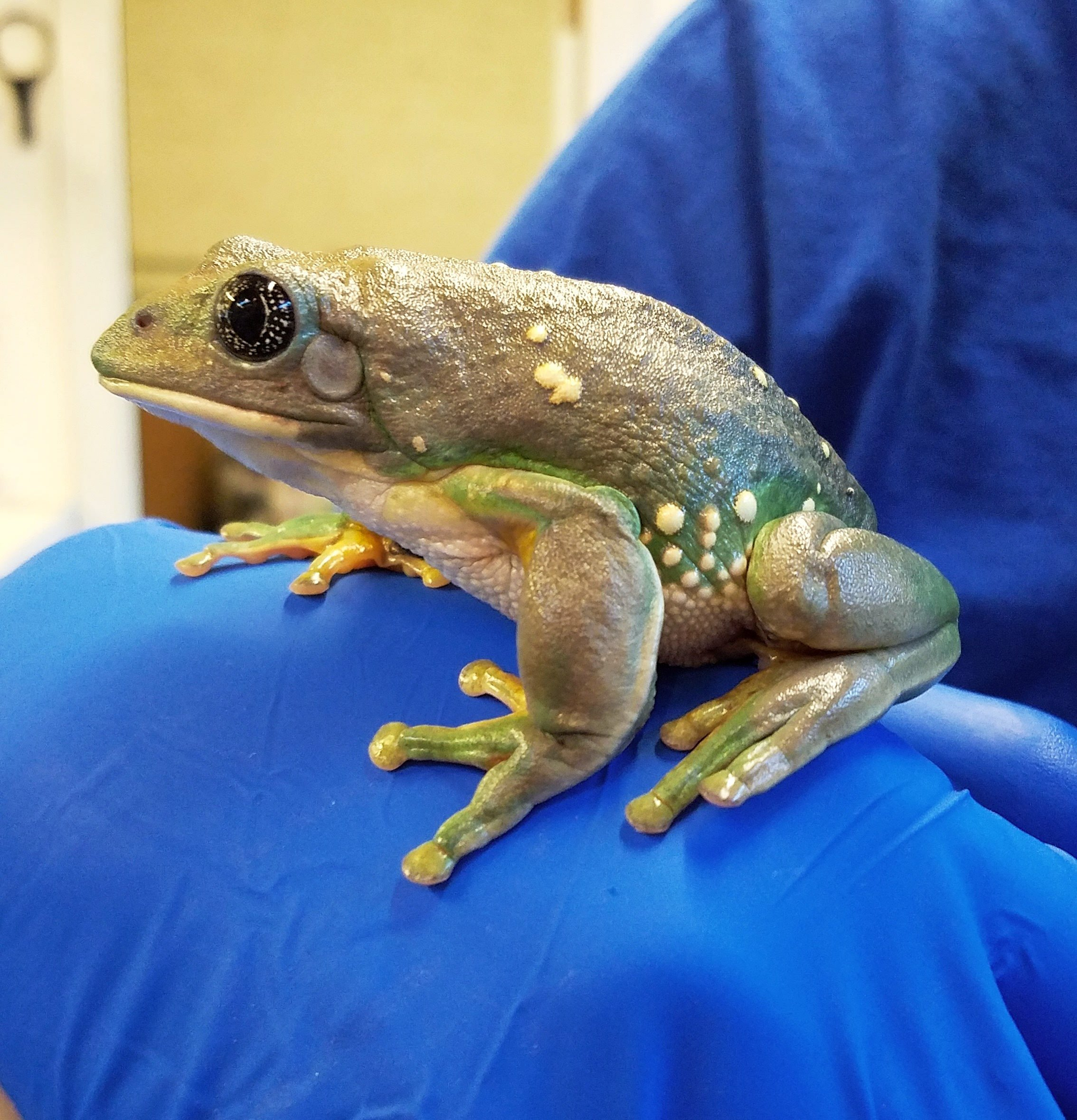 Mexican Leaf Frog Care Josh S Frogs How To Guides