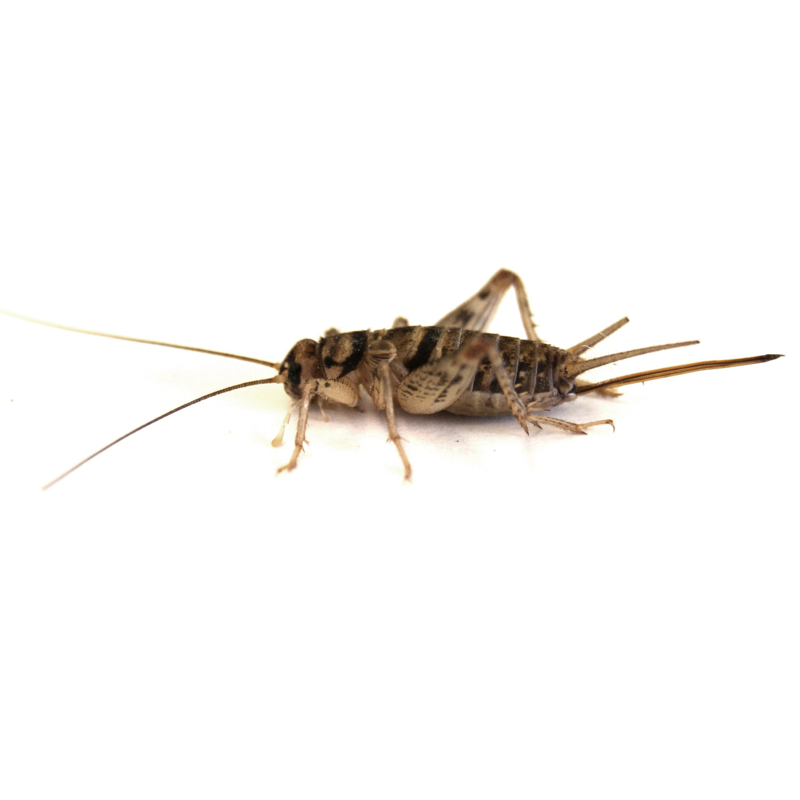 Josh's Frogs Pinhead Banded Crickets Availability In stock Product  NamePriceQty Pinhead Banded Crickets 12 Count $12.12 Pinhead Banded  Crickets ...