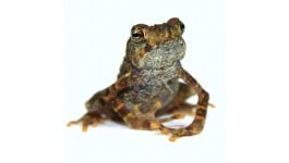 Yellow Spotted Climbing Toad - Pedostibes hosii