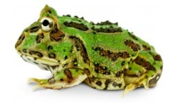 Green Pac Man Frog - Ceratophrys cranwelli (CBP)