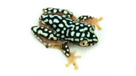 Starry Night Reed Frog (Captive Bred) - Heterixalus alboguttatus