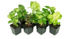 Syngonium Plant Bundle 3-Pack