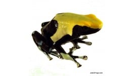 Dendrobates tinctorius 'Yellowback' - Dyeing Poison Arrow Frog