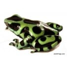 Dendrobates auratus 'Costa Rican Green & Black' - Green and Black Poison Dart Frog