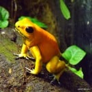 Phyllobates terribilis 'Orange' - Golden Poison Dart Frog