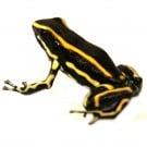 Dendrobates truncatus 'Yellow' - Yellow-striped Poison Frog