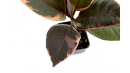 Ruby VARIEGATED RUBBER TREE Ficus elastica /'Red/'  BARE ROOTED PLANT