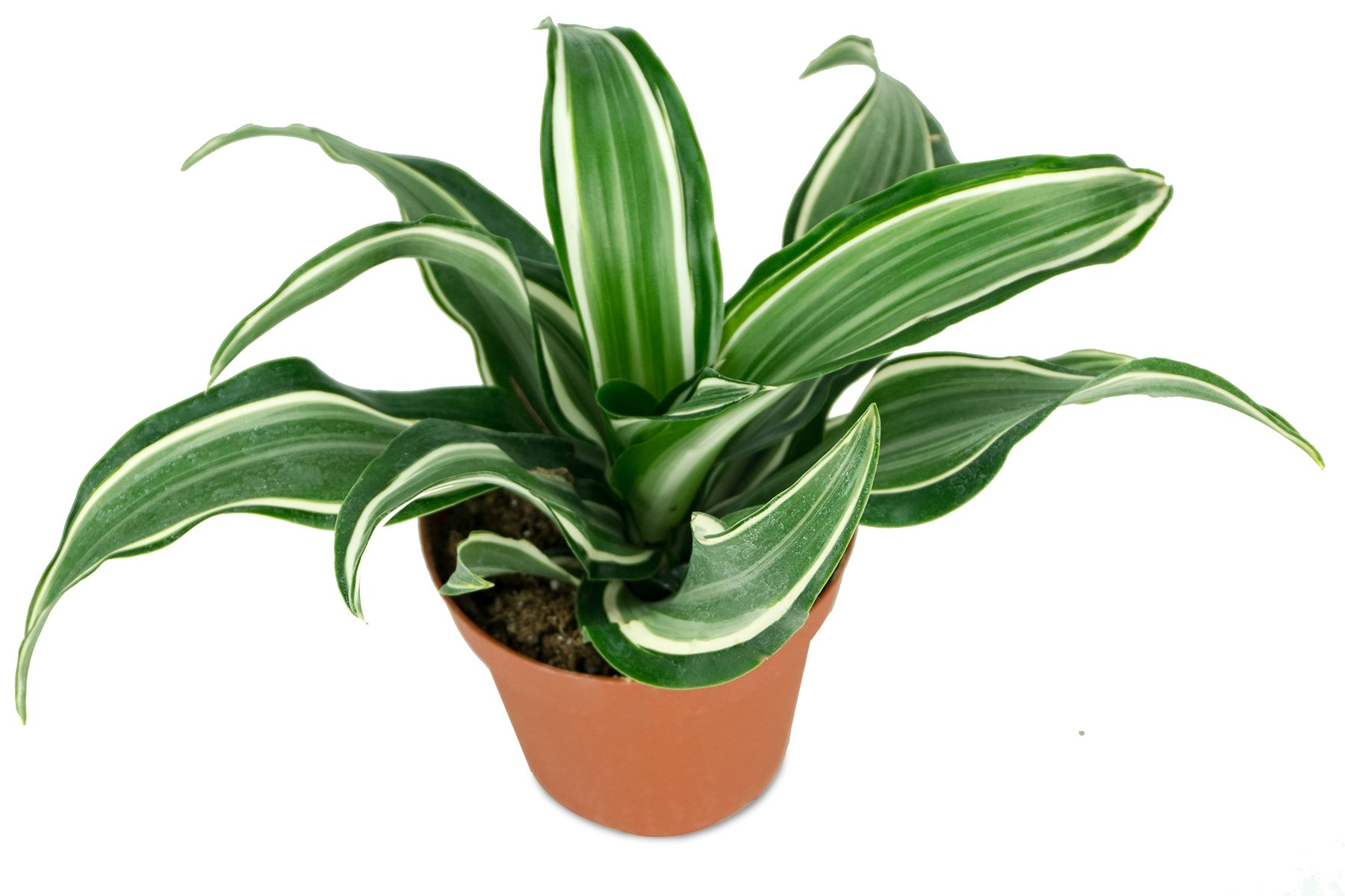 100 dracaena leafy plant dracaena marginata tricolor tricolor dracaena dracaena fragrans. Black Bedroom Furniture Sets. Home Design Ideas